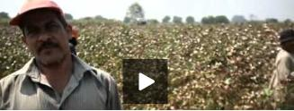 Egypt's cotton growers complain of inferior quality of cotton yields